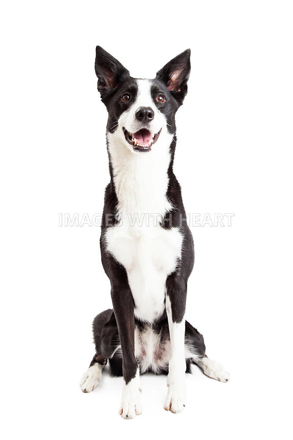 Images With Heart Happy Border Collie Mix Breed Dog Sitting