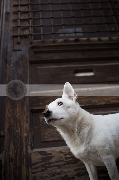 small senior white dog standing by old wooden door