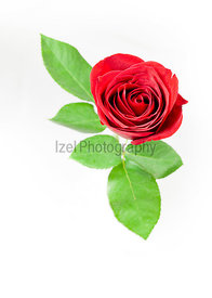 A single red rose on a white background.