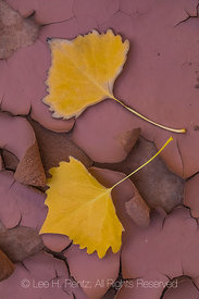 Fallen Autumn Cottonwood Leaves Below Moon House Ruin