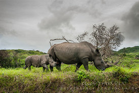 adult female white rhino and young
