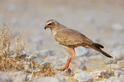 Juvenile Pale Chanting goshawk on the ground