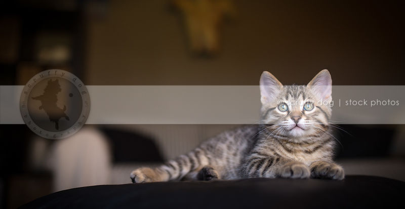 sweet small brown tabby kitten looking skyward lying with bokeh background