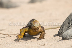 galapagos_land_iguana_north_seymour_walk-2