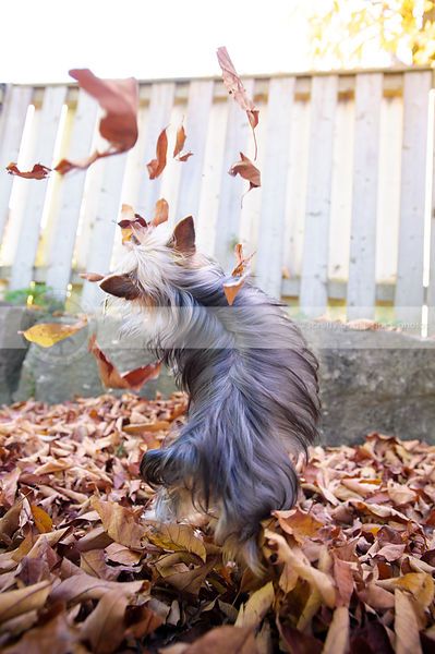 yorkshire terrier dog from behind playing in autumn leaves