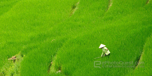 Villager Working in Lush Rice Paddy