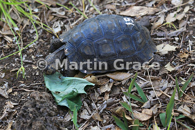 Young San Cristobal Giant Tortoise (Geochelone elephantopus chatamensis) at the Galapaguena de Cerro Colorado breeding statio...