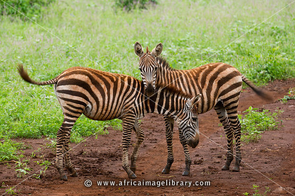 Young, Burchell's zebra (Equus burchellii), Meru National Park, Kenya