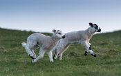 Young lambs running and jumping on a spring evening. North Yorkshire, UK.