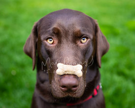 Close-up of Chocolate Labrador with bone-shaped Treat on Nose