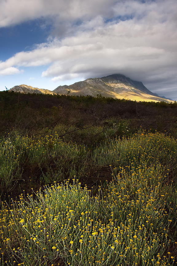 Erica fynbos, Wildcliff Nature Reserve, South Africa