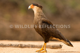 caracara_three_brothers_beach-9