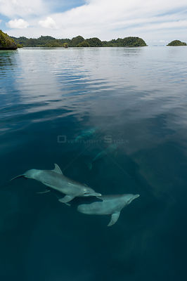 Indo-Pacific bottlenose dolphins (Tursiops aduncus) just below surface in flat calm waters. Raja Ampat, West Papua, Indonesia...