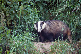 July - European Badger