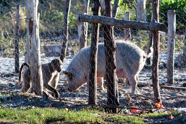 Baboons from the Plateau Road Troop visit a farm, Cape Peninsula, South Africa