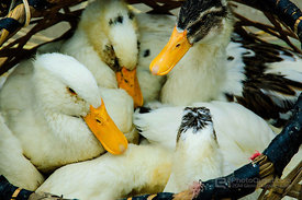 Basket Ducks
