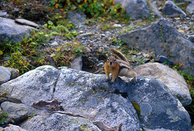 February - Golden-mantled Ground Squirrel