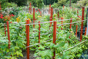 Young fruit bushes supported with red painted uprights and bamboo canes in the edible garden. The Shute, nr Ventnor, Isle of ...