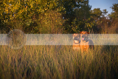 two alert dogs standing together in deep grasses with sunshine