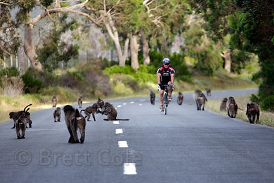 The Plateau Road troop of chacma baboons walks along Plateau Road, with a cyclist passing them, Cape Peninsula, South Africa