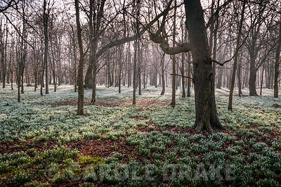 Beech woods carpeted in snowdrops, Galanthus nivalis. Welford Park, Newbury, Berks, UK