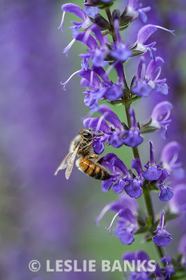 Bee Pollinating Salvia Plant