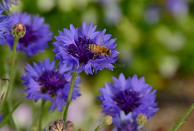 Purple cornflowers with Bees