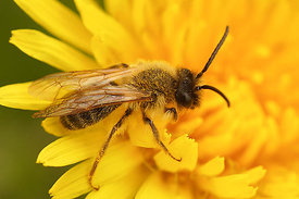 Andrena flavipes , male