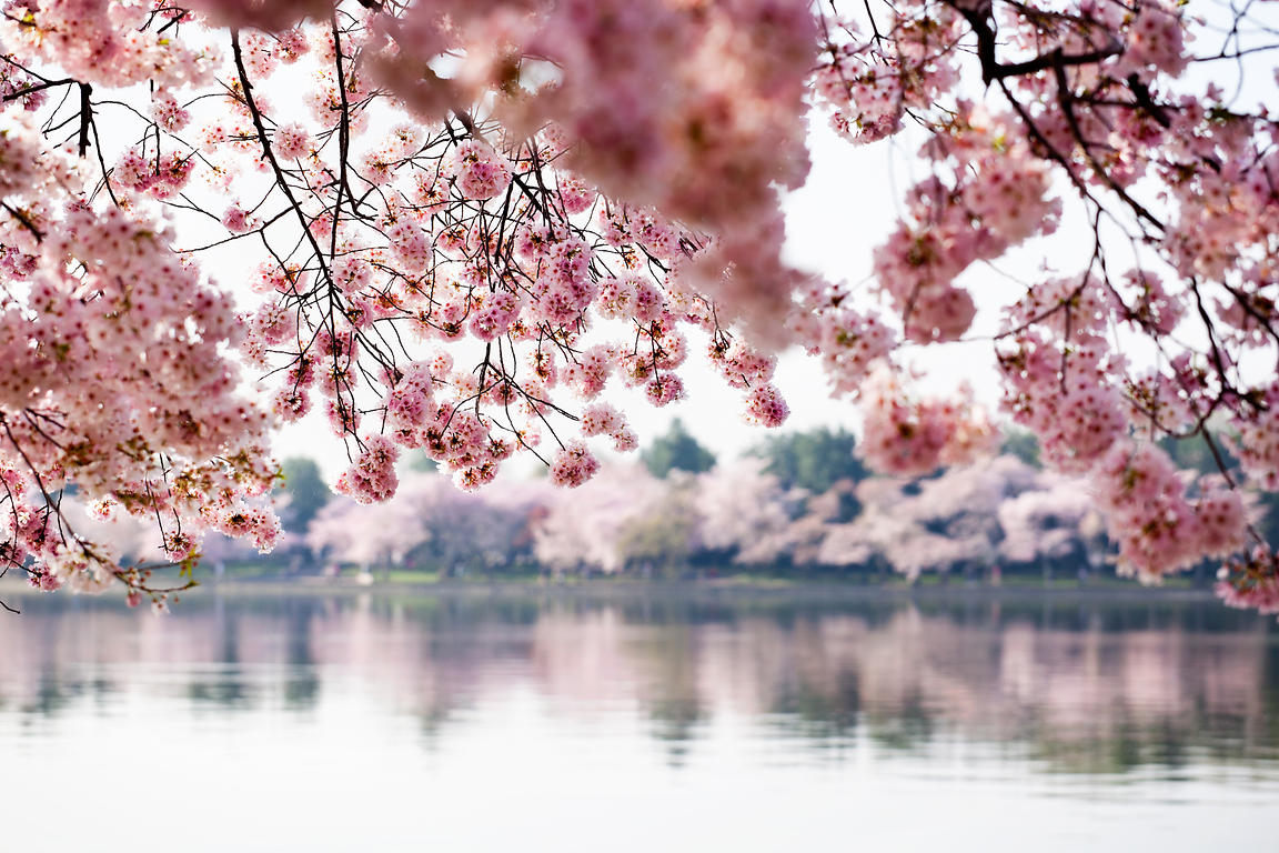 cherryblossoms_032212_3