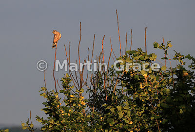 Common Kestrel (Falco tinnunculus tinnunculus) perching in the bare branches of a Ash Dieback-affected tree (Fraxinus excelsi...