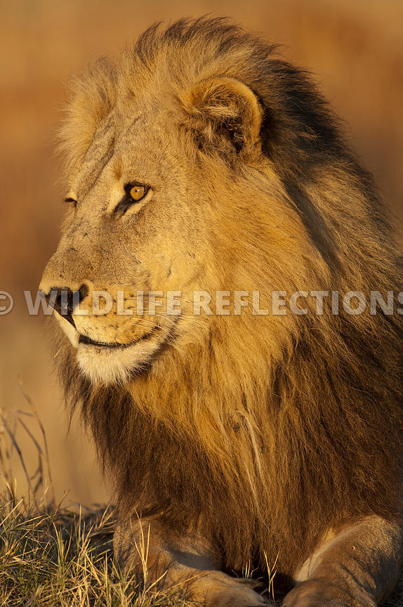 lion_male_handsome_portrait_vertical