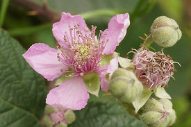 Rubus species