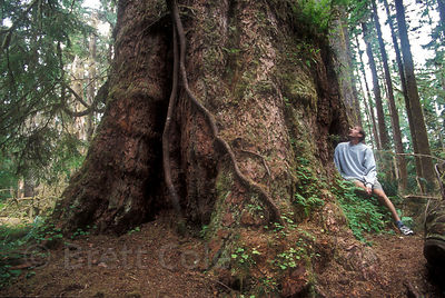 The Queets Fir in the Olympic Rainforest, Washington, among the three largest Douglas-fir trees in the world, depending on wh...