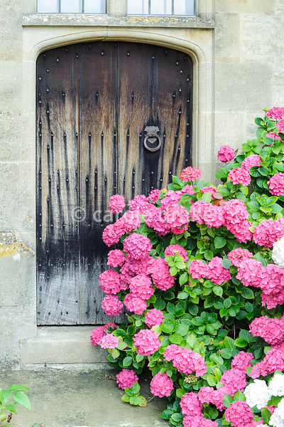 Hydrangeas beside door into the house. Rodmarton Manor, Rodmarton, Tetbury, Glos, UK