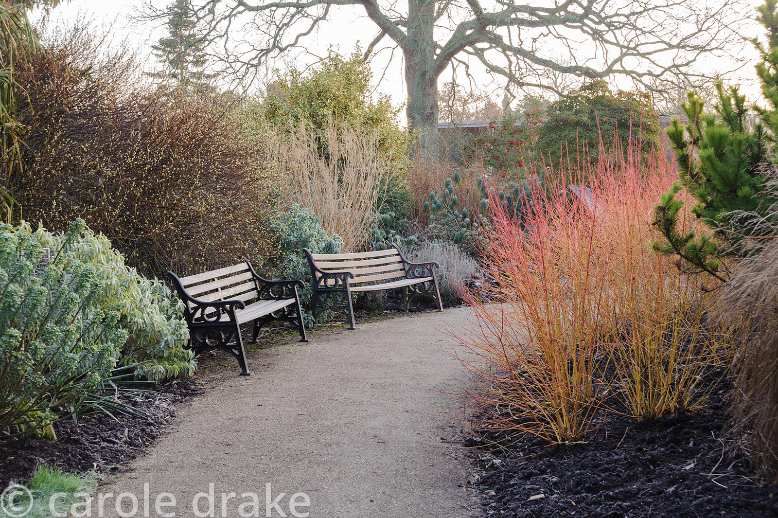 Path through the winter garden edged with Cornus sanguinea 'Midwinter Fire', euphorbias and grasses. Sir Harold Hillier Garde...