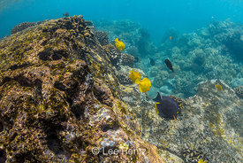 Goldring Surgeonfish and Yellow Tang in Coral Reef of Big Island of Hawaii