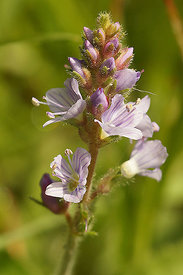 Veronica serpyllifolia