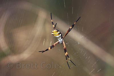 Large unidentified spider in the Las Nubes Reserve, Costa Rica.