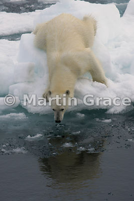 Polar Bear (Ursus maritimus) on edge of an ice floe, appearing to look at its reflection in the water, Storfjorden, Svalbard
