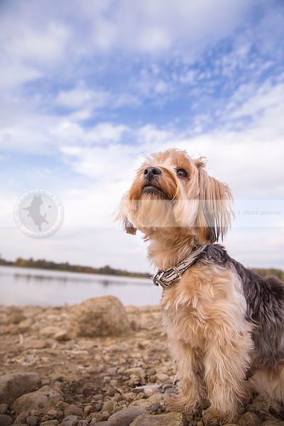 pretty yorkie dog looking skyward standing on beach with sky and clouds