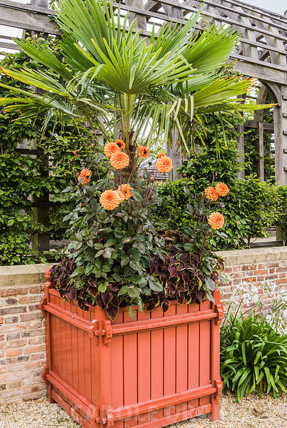 Dahlia 'David Howard' with trachycarpus and deep red solenostemon in planters in the Collector Earl's Garden. Arundel Castle ...