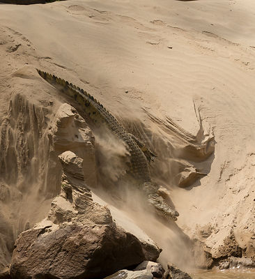 Nile crocodile (Crocodylus niloticus) making its way through sand  to the Rufiji River, Selous Game Reserve, Tanzania.