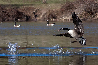 Canada Geese (Branta canadensis) on Lake Whetstone, Montgomery Village, Maryland