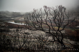 Burned skeleton of a protea bush above Silvermine Dam, in the mist