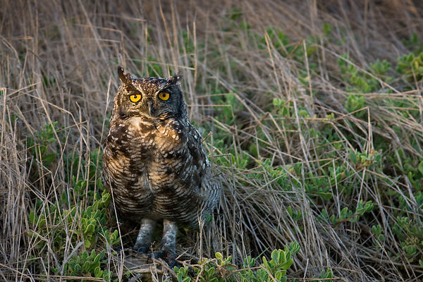 Spotted eagle owl (Bubo africanus) in wetlands, Strandfontein, South Africa