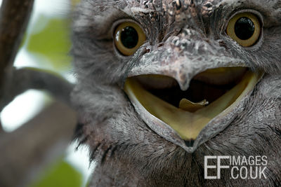 Tawny Frogmouth Looking Surprised