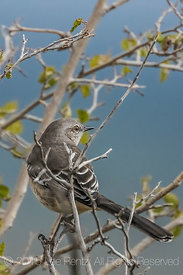 Northern Mockingbird, Mimus polyglottos, in New Mexico