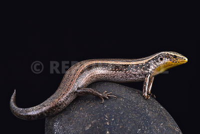 Two striped Canary skink (Chalcides sexlineatus bistriatus)