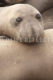 Elephant Seal Contentment Vertical 1