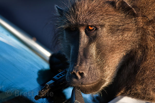 Chacma baboon from the Buffels Bay troop plays on a car. The baboons frequently make off with wiper blades. Buffels Bay, Cape...